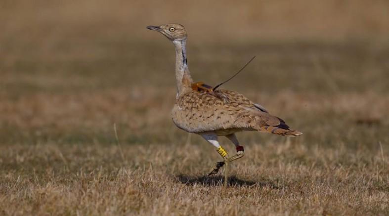7 Yıl Sonra İlk Kez Görülen Kuşu Avcılar Vurdu
